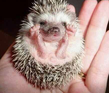 african animals of hedgehog babies wiki